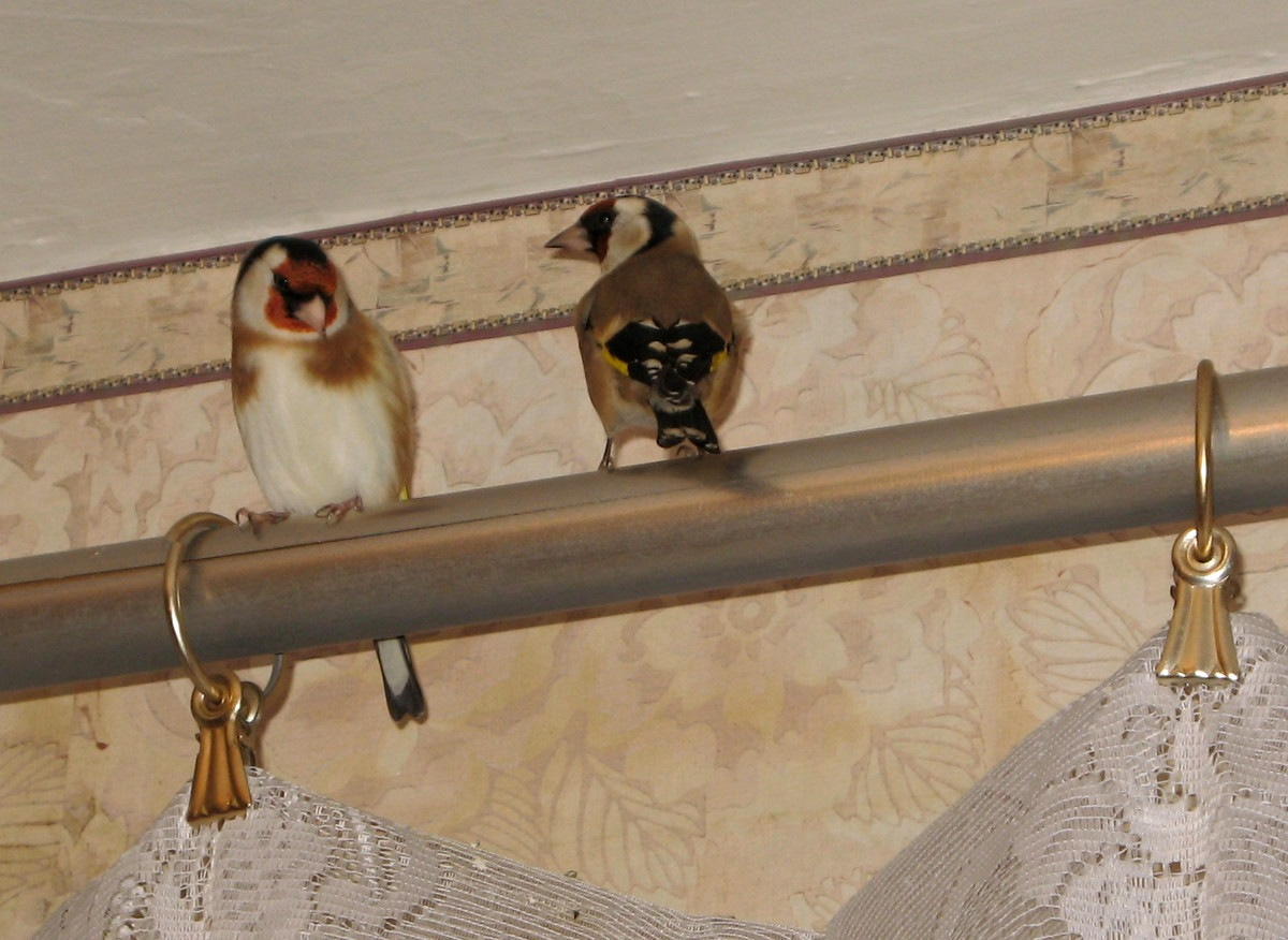 Наблюдения за парочкой щеглов | Блог Алексея Труфанова