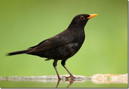 Черный дрозд (blackbird)