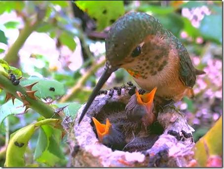 Колибри с птенцами в гнезде