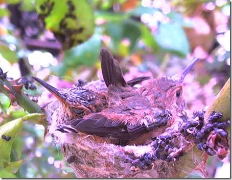 kolibri16
