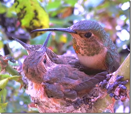 kolibri18