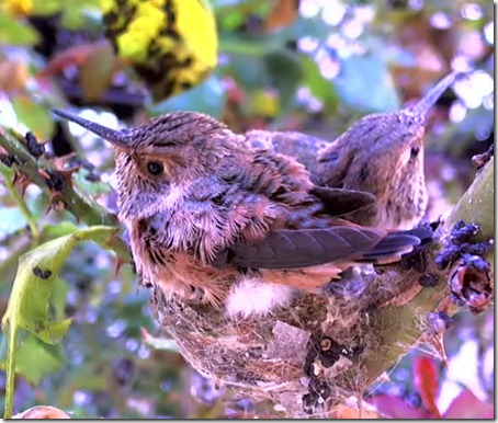 kolibri20