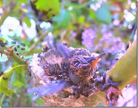 kolibri8