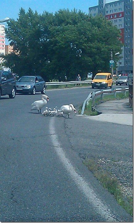 Лебеди переходят дорогу