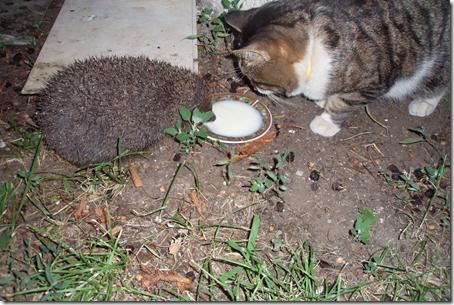 Кот и ёжик пьют молоко из одной мисочки