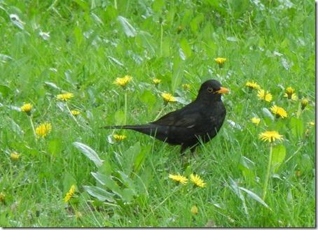 Blackbird - Черный дрозд